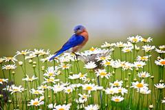 2_MG_1387-Edit copy (Buffalo Ridge Shutterbug) Tags: bird daisies spring bluebird photocontesttnc09