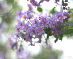 B/O/K/E/H ... Solanum crispun 'Glasnevin' (_nejire_) Tags: light england plant flower green london nature canon flora bokeh f14 explore fp frontpage solanum testimonial 3pm carlzeiss greaterlondon 30faves 100faves 50faves 10faves 60faves 70faves 25faves nejire eos400d canoneos400d fave10 fave30 explorewinnersoftheworld fave50 solanumcrispunglasnevin mhashi fave25 fave60 fave70 carlzeissplanart1450ze fave100 8335494g1020pm thisplantisnamedforthenationalbotanicgardensglasnevinincountydublin thanksfortheinformationdoctorbob 12948644g820am thankslitch dedicatedtolitch