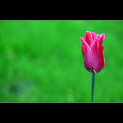HGGT! (JannaPham) Tags: life pink flower macro green dedication canon garden eos golden spring friend flickr pretty friendship bokeh moscow young tulip 5d thursday markii project365 86365 happygorgeousgreenthursday hggt jannapham