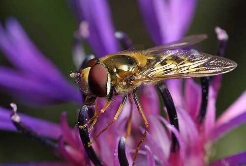 Syrphid hoverfly on cornflower #4 (by Lord V)