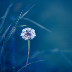 wandering star ([Adam Baker]) Tags: blue summer nature grass canon spring cool weed path portishead grow 5d cornell reach ithaca portfolio plantations dandi 70200l adambaker featuredonadidapcom petob