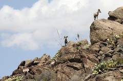 Desert Bighorn Sheep 2 (Rachel L Barr) Tags: wildlife northamerica bigbend desertbighornsheep threatenedspecies chihuahuandesert canoneos30d canonef70200mmf4lusm brewstercountytexas