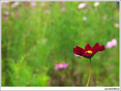 Cosmos Red Flower - I need to relax (sam4605) Tags: red flower relax cosmos sam4605