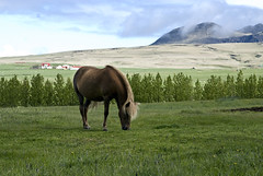 Icelandic Horse grazing in a pasture and mountains (jackie weisberg) Tags: sky horses horse mountains norway horizontal landscape island lava iceland skies north lakes norwegian pasture photograph glaciers nordic lush pastoral volcanic barren geothermal geysir fjords equine basalt arcticcircle gulfstream pristine geysers northatlantic geothermalpower icelandichorse hydroelectricity egalitarian ingolfurarnarson glacialrivers economiccrisis temperateclimate volcanicallyactive therepublicoficeland jackieweisberg