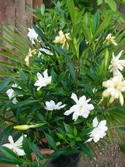 Gardenia Frost Proof