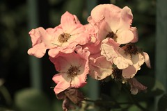(*Qatar) Tags: park pink flowers flower green garden