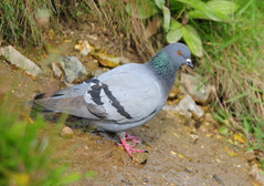Rock Dove or Rock Pigeon (Columba livia) at Bempton Cliffs (Steve Greaves) Tags: cliff bird nature rock grey coast bokeh metallic pigeon dove wildlife aves naturalhistory coastal ledge redeye launch sheen avian irridescent prepare columbalivia rockdove eastyorkshire rockpigeon blackstripe bemptoncliffs irridescence nikond300 nikonafsii400mmf28ifedlens blackwingstripe