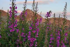 sunset in Pirin (.:: Maya ::.) Tags: sunset mountain flower eye nature landscape purple maya outdoor hiking bulgaria experience bulgarie pirin bulgarien       mayaeyecom mayakarkalicheva  wwwmayaeyecom