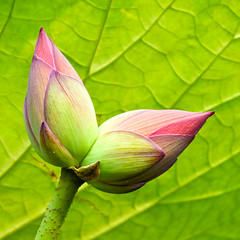 Double-Headed Lotus  (olvwu | ) Tags: morning plant flower field grass closeup leaf drops pond lotus bokeh farm taiwan dew droplet crops ntu taipei veins unusual bud rare lotusflower nelumbonaceae taipeicounty doubleheaded nelumbo sindian jungpangwu oliverwu oliverjpwu nelumbonucifera ntufarm proteales nelumbonuciferagaertn olvwu eastindianlotus sindiancity jungpang ntuangkangfarm