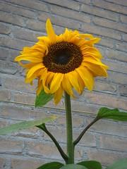 Zonnebloem bloeit