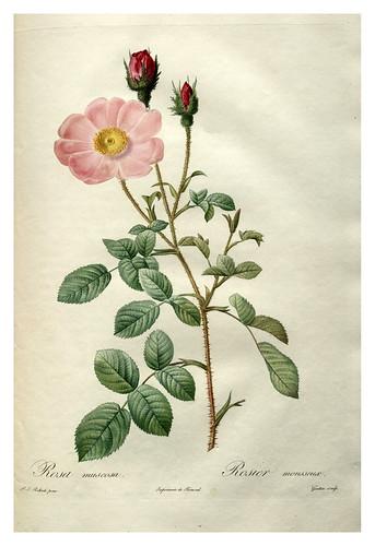 002-Les roses 1817-1824- Pierre-Joseph Redoutéjpg