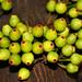 Ficus leptoclada - Atherton Fig