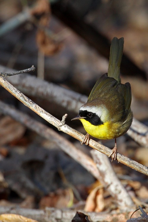 Common Yellowthroat 12091