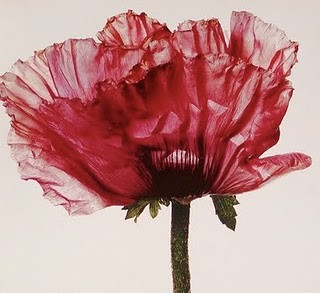 Irving Penn - Poppy from his book Flowers