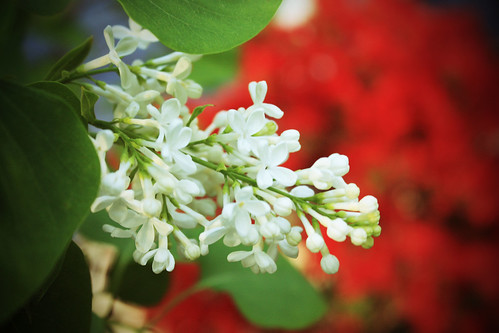 White Lilac by kayaker1204