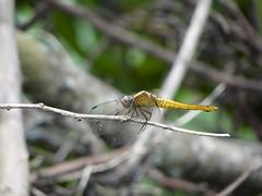 蜻蜓 Dragonfly (ddsnet) Tags: sony cybershor hx100v 蜻蜓 dragonfly 昆蟲 insect 蜻蛉 odonata cybershot