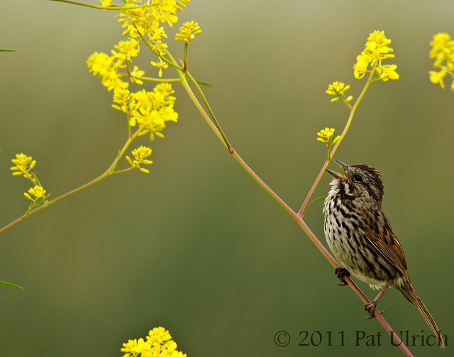 Song sparrow in yellow wildflowers - Pat Ulrich Wildlife Photography