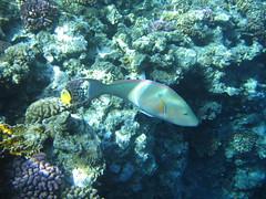 135_3554 (LarsVerket) Tags: egypt snorkling fisk undervannsfoto