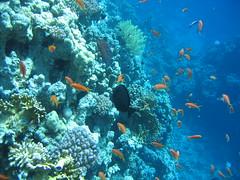 137_3789 (LarsVerket) Tags: egypt snorkling fisk undervannsfoto