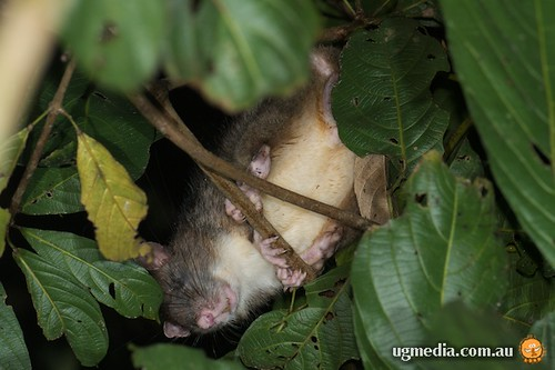 Giant white-tailed rat (Uromys caudimaculatus)