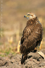 long legged buzzard    (mohammad khorshid (boali)) Tags: canon kuwait buzzard q8 kwt 600mm 1dmk2n