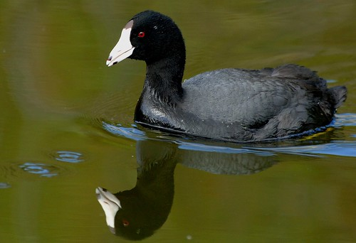 coot1