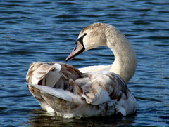Babyface (flipkeat) Tags: lake ontario cute bird birds animal closeup port outdoors swan wildlife awesome young cygnet adorable credit waterfowl mute avian babyface cygnusolor supershot cygnetubercul supereco cisnevulgar dsch50 slbpreening thewonderfulworldofbirds greatshotss
