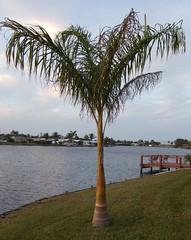 Palm Tree in Sebastian
