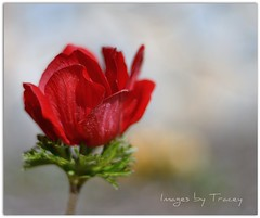 Hope (Tracey Tilson Photography) Tags: red usa flower nature hope 50mm nc spring nikon bokeh north cancer tulip carolina sue february awareness 2009 picnik d90 niftyfifty flowerotica flowersagainstcancer