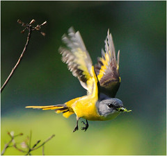 #396  (Fly for Sweet Nest) (John&Fish) Tags: wild bird nature wow taiwan best naturesfinest wonderworld blueribbonwinner specanimal mywinners avianexcellence macrolife goldstaraward goldenheartaward 100commentgroup vosplusbellesphotos famoussquarecaptures luckyorgood