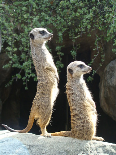 Meerkats at the Los Angeles Zoo