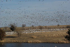 I need help counting these Snow Geese (jeff_carrel) Tags: ne beatrice snowgeese sonya300