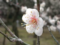 Ume flower (theblackcoffee) Tags: white flower japan mito ume ibaraki kairakuen