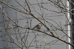 Chickadee in a berry bush (jesusfreakfan77) Tags: cute bird little chickadee
