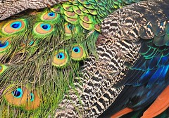 """What a beautiful piece of """"cloth""""!!! (azalea lover) Tags: blue green fur eyes colours patterns feathers multicoloured peacock simple topshots lovely~lovelyphoto"""