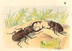 Lucanus cervus (CGoulao) Tags: old school portugal animal illustration stag image estudo beetle picture atlas antiga escola animaux portuguese ilustrao desenho planche imagem ancienne antigo studie zoology estudar gravura 1907 zoologia trait gravure vacaloura lucanus zoologie cervus balthazarsantos mattososantos