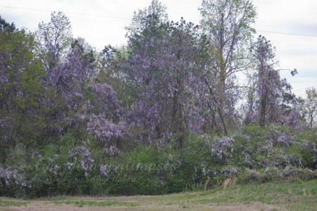 wisteria040309_0010web