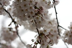 (*Qatar) Tags: white spring cherryblossoms