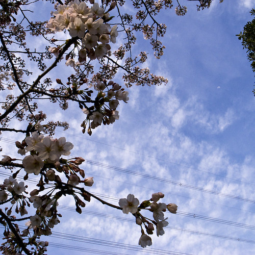 Wires Meld to Cherry Blossoms