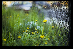 (patrickjoust) Tags: usa flower color slr film grass america 35mm fence lens ed screw 50mm prime us dc washington reflex spring nikon focus flickr fuji asahi pentax takumar scanner district f14 united patrick slide columbia chain mount v chrome f single m42 link spotmatic states manual 50 joust 35 fujichrome smc provia e6 estados 100f reversal screwmount unidos autaut lovelycity patrickjoust
