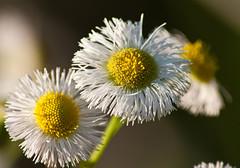 Cullinan Park - Wildflowers (Philadelphia Fleabane)