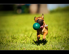 Free in the park (Barry McGrath) Tags: park dog puppy action australia images brisbane cupcake qld april getty quick 2009 abigfave canonef70200mmf4lisusm aplusphoto barrymcg bazzymcg
