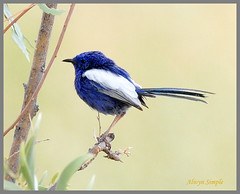 0512_0061 White Winged Fairywren - Malurus leucopterus (alwynsimple) Tags: whitewingedfairywren malurusleucopterus macquariemarshes thewonderfulworldofbirds