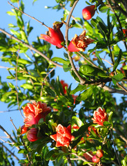 Flowering Pomegranate Plant