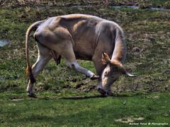 *Pas de danse... (Michael Peron...Happy new year) Tags: france nature animal lumix cow photo dance cows dancer danse vert animaux bovine hdr ferme vache pyrnes vaches pr danseur danseuse paturage bovin bovins lumixaward marsouin2009