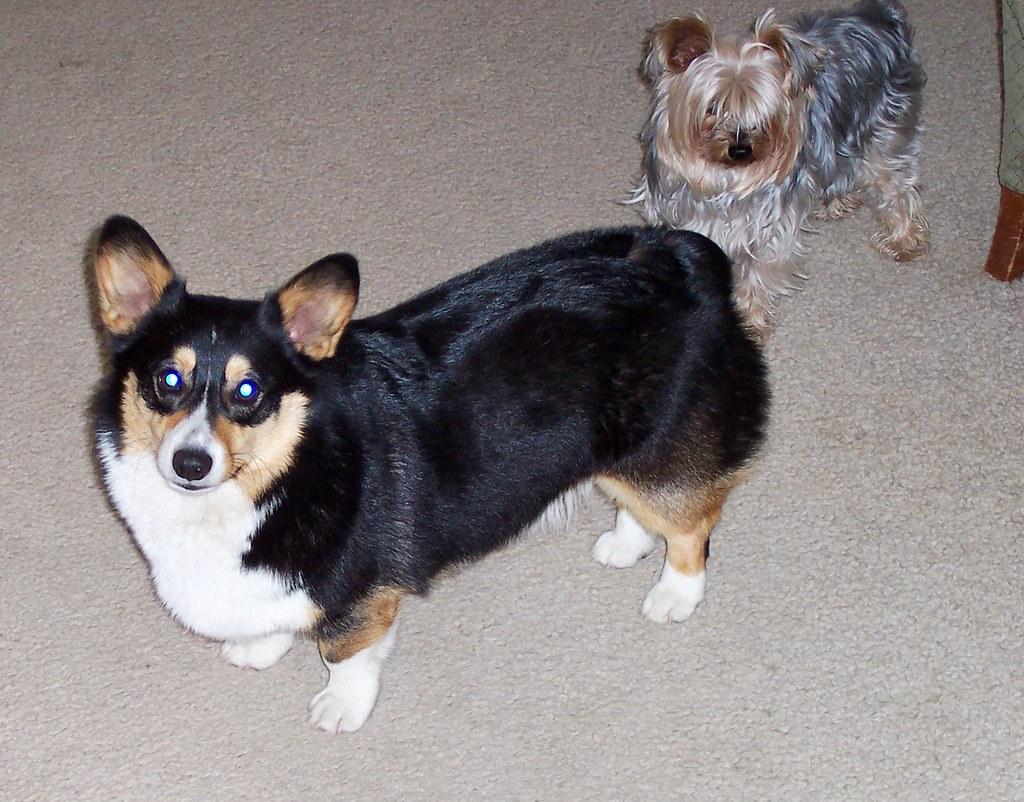 Popular Grey Chubby Adorable Dog - 3514035119_433fc38d3a_b  2018_789425  .jpg