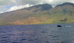 humback whale - maui coastline
