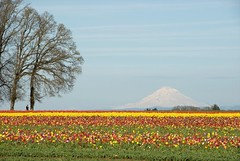 Mt. Hood & Tulip Slendor (Gary Grossman) Tags: nature oregon hope spring tulips blossoms mthood renewal awesomeblossoms qualitysurroundings
