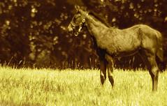 "Hesitation (Jenny Gandert Photography - aka ""Rays From Heaven"") Tags: horse caballo lexington kentucky pasture cavallo colt equine foal rexington jennygandert gandert"