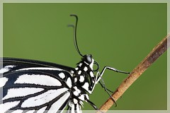 Life Cycle of Common mime - Papilio clytia ( Dissimilus form ) (Dr.K.Saji) Tags: lifecycle commonmime papilioclytia dissimilus